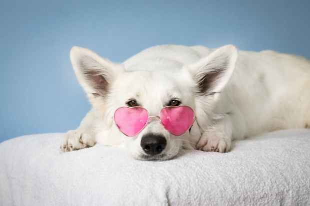 dog staring at you with heart-shaped sunglasses because