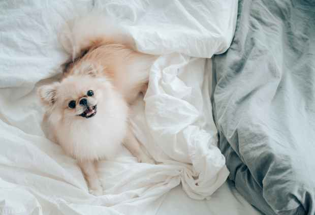 pomeranian dog laying on blankets looking up at you with adorableness